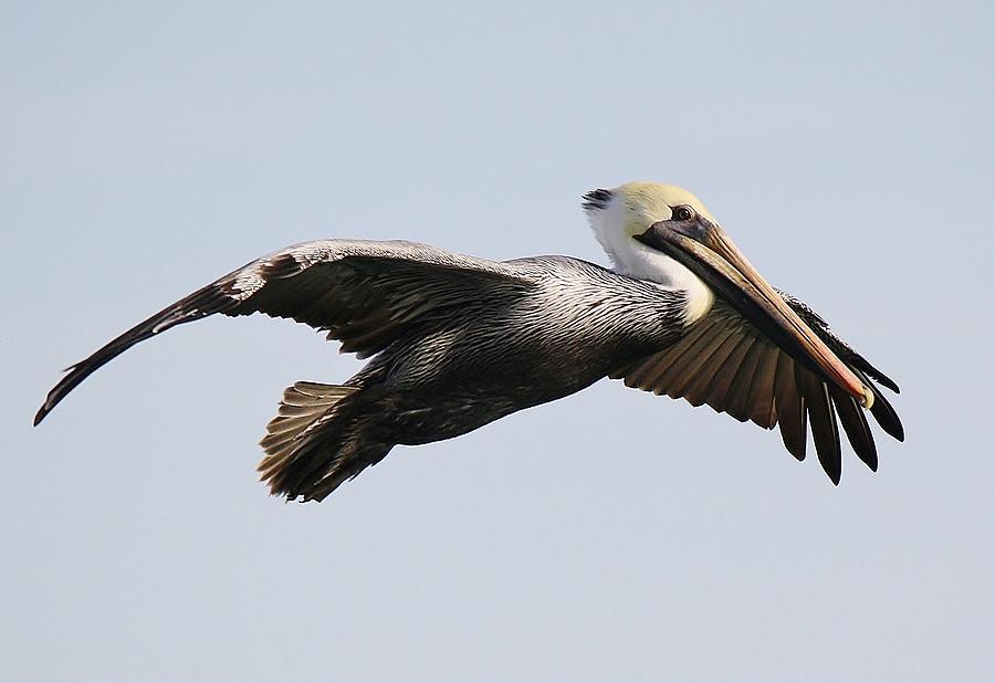 Pelican Photograph - Pelican In Flight by Paulette Thomas