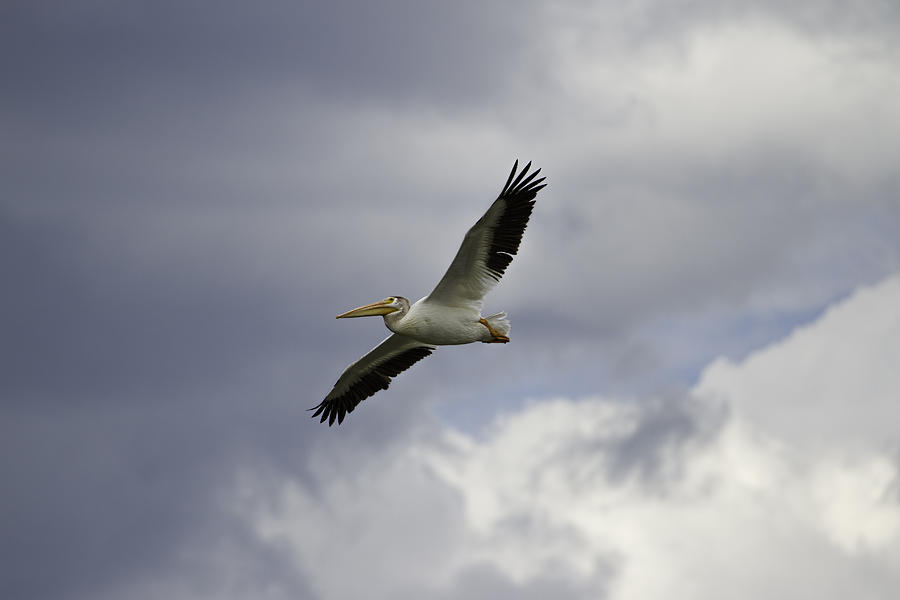 White Pelican Photograph - Pelican In Flight by Thomas Young