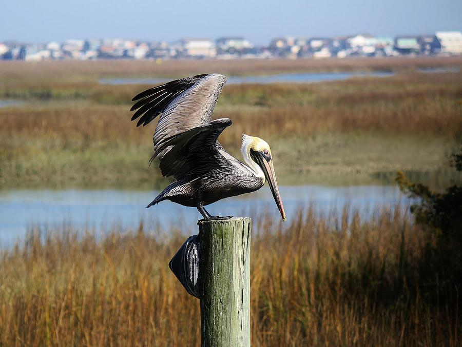 Pelican Photograph - Pelican In The Marsh by Paulette Thomas