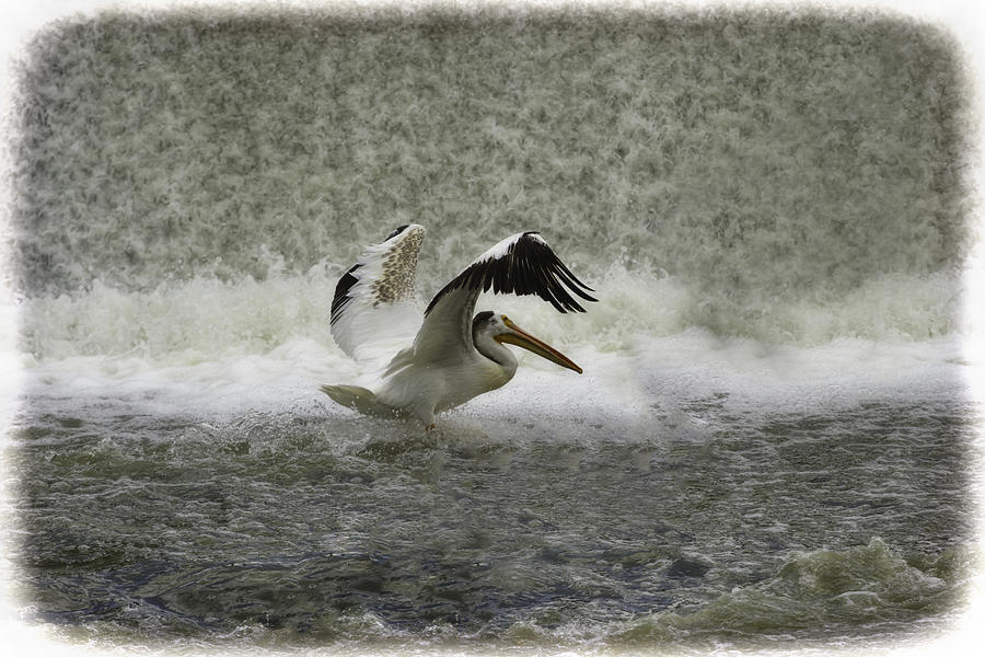 White Pelican Photograph - Pelican Landing In Color by Thomas Young