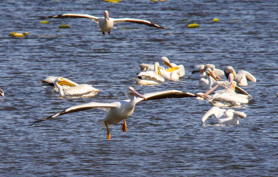Birds Photograph - Pelican Landing by Jill Bell