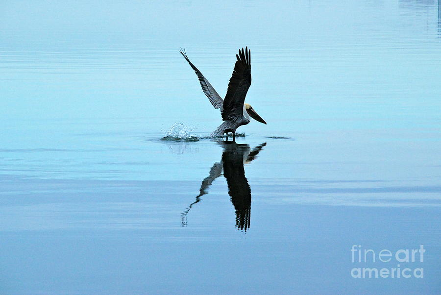 Beach Photograph - Pelican Lift Off by M E Wood