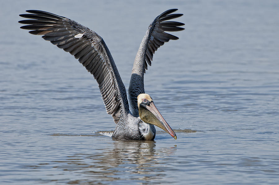 Brown Pelican Photograph - Pelican On Bayou Du Large by Bonnie Barry
