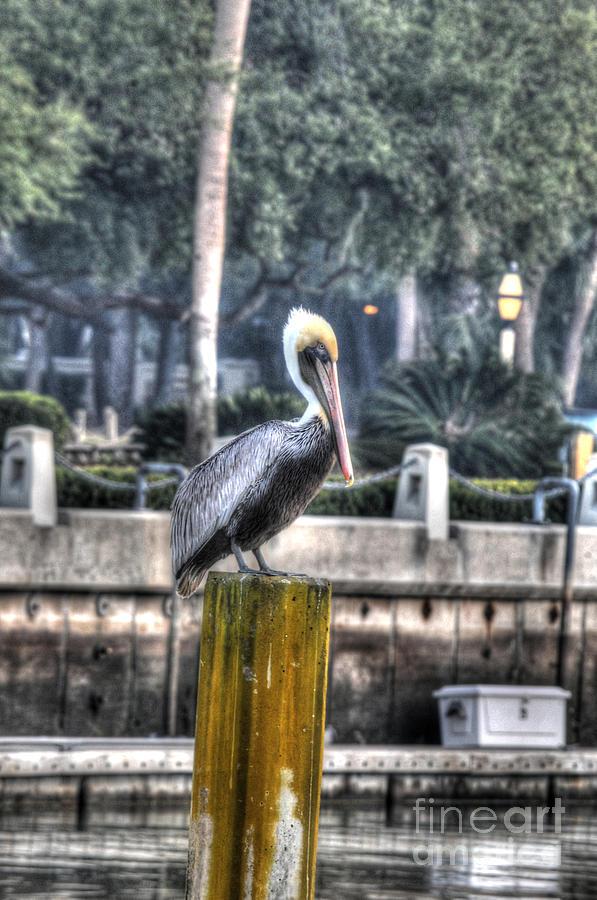 Pelicans Photograph - Pelican On Water Post by Dan Friend