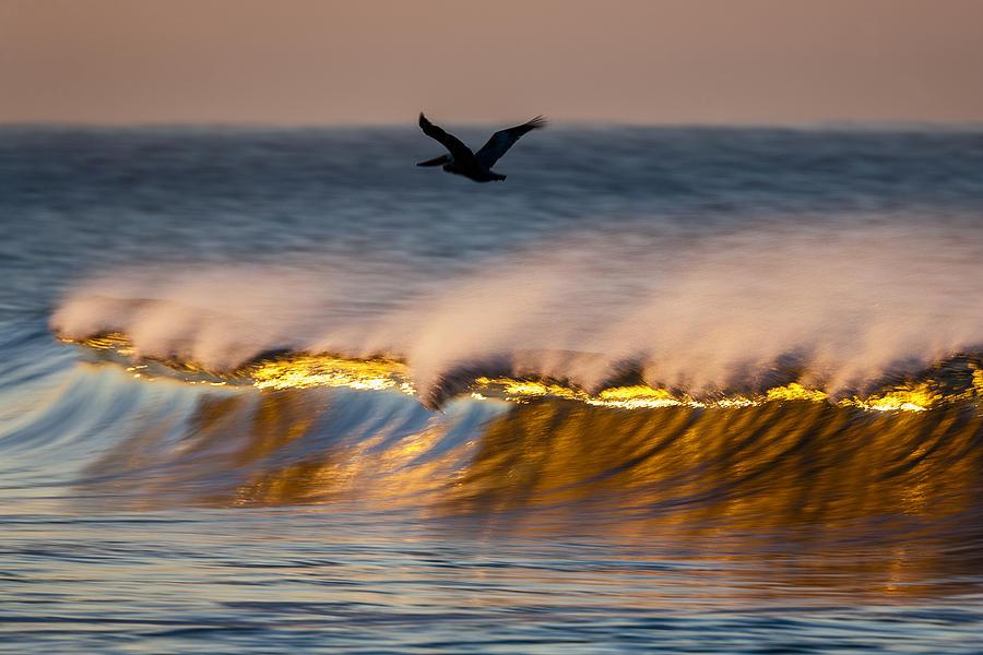 Pelican Over Wave  C6J9351 by David Orias