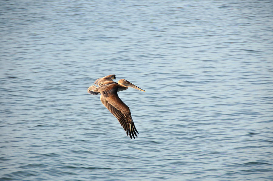 Pelican Photograph - Pelican by Paul Van Baardwijk