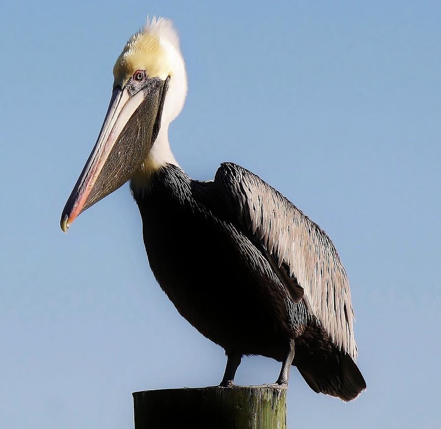 Pelican Photograph - Pelican  by Paulette Thomas