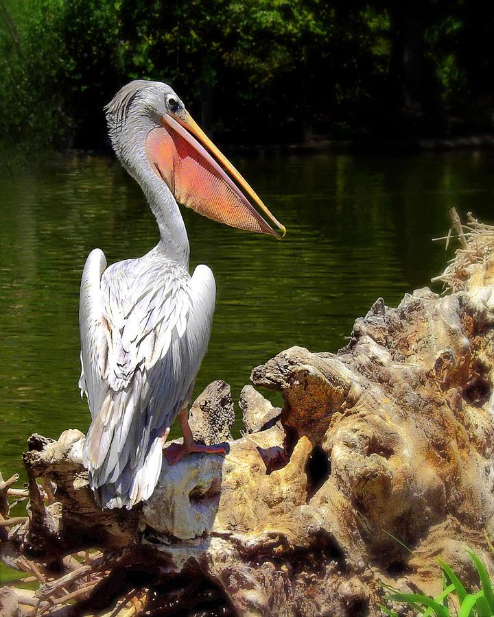 Pelican Photograph - Pelican Proud #2 by Wayne Wood