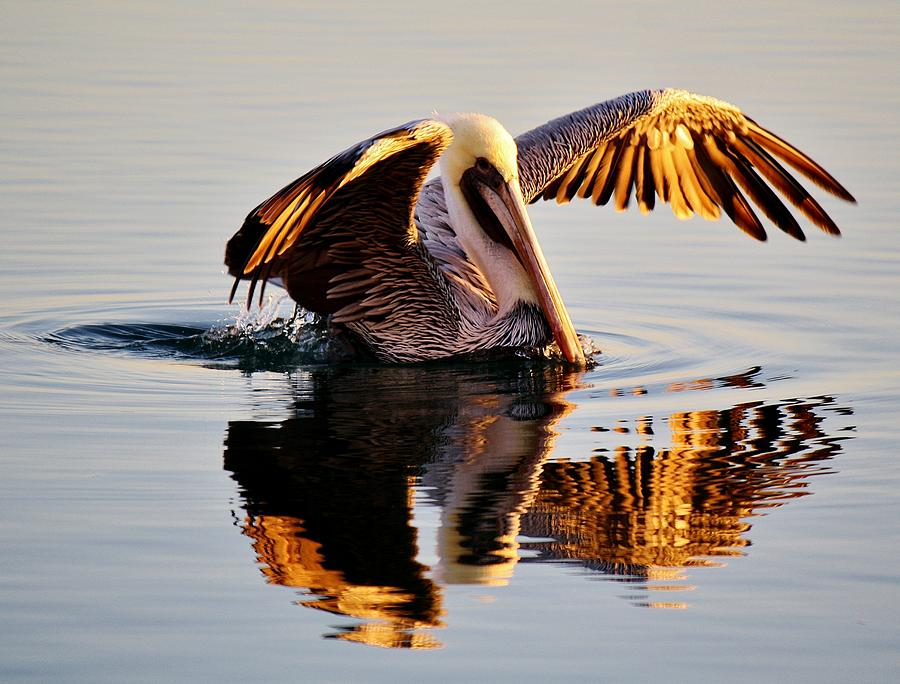 Pelican Photograph - Pelican Reflection by Paulette Thomas