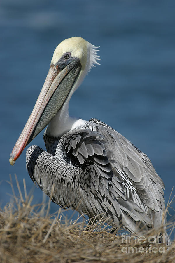 Pelican Photograph - Pelican by Russell Christie