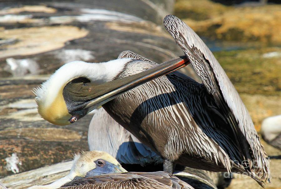 Pelican Photograph - Pelican Scratch by Adam Jewell