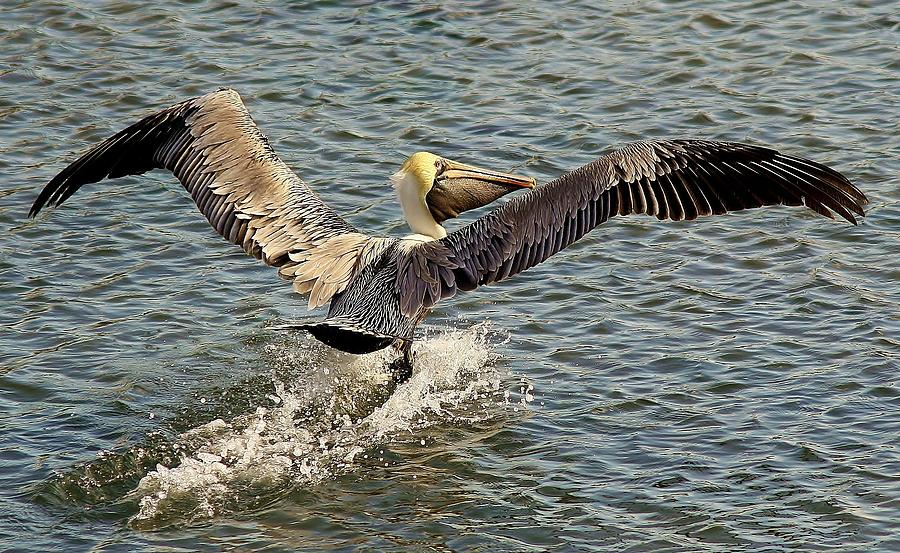 Pelican Photograph - Pelican Take Off by Paulette Thomas