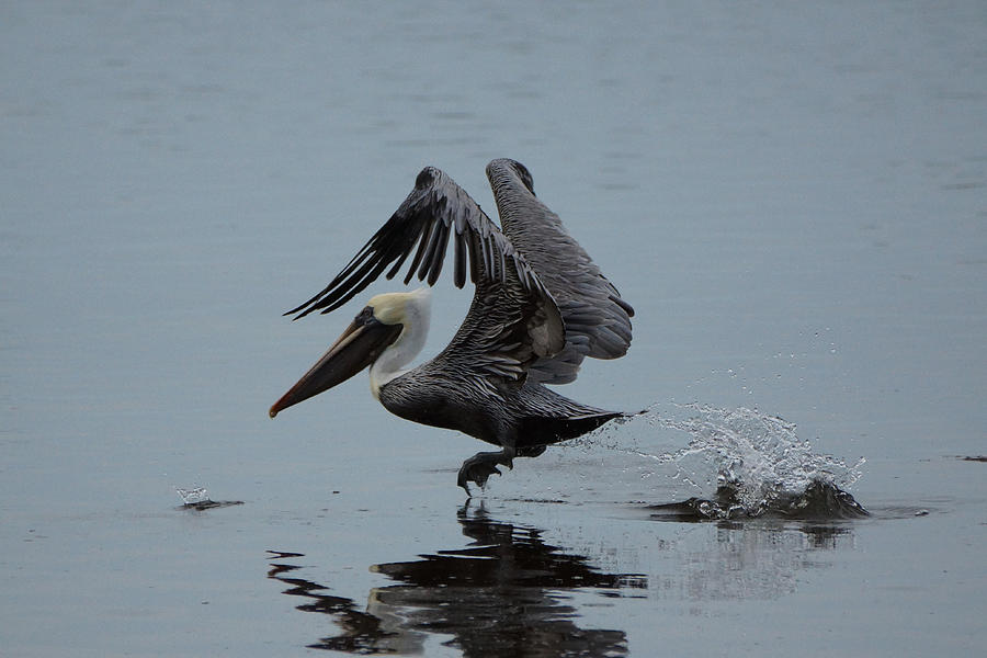 Pelican Photograph - Pelican Takeoff by Scott Dovey