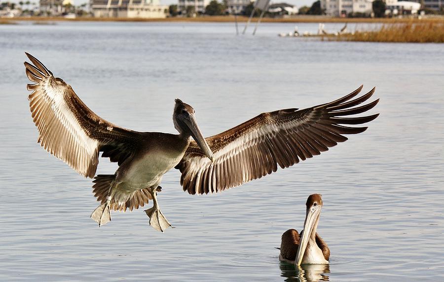 Pelicans Photograph - Pelican Wings Span by Paulette Thomas