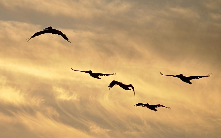 Birds Photograph - Pelicans Against A Golden Sky by AJ  Schibig