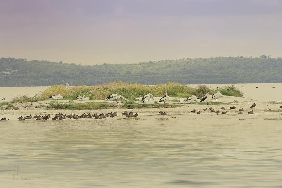 Birds Photograph - Pelicans At Poddy Shot by Elaine Teague