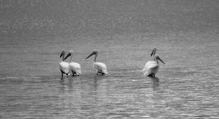 pelicans by Evelyn Patrick
