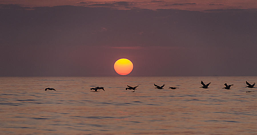 Pelicans Photograph - Pelicans In A Row by  Island Sunrise and Sunsets Pieter Jordaan