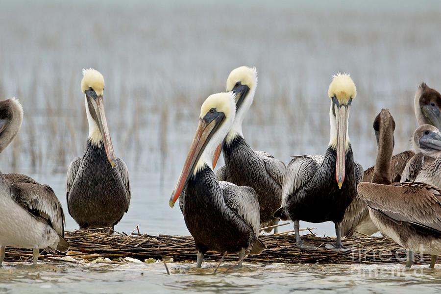 Pelicans Photograph - Pelicans by Matthew Trudeau