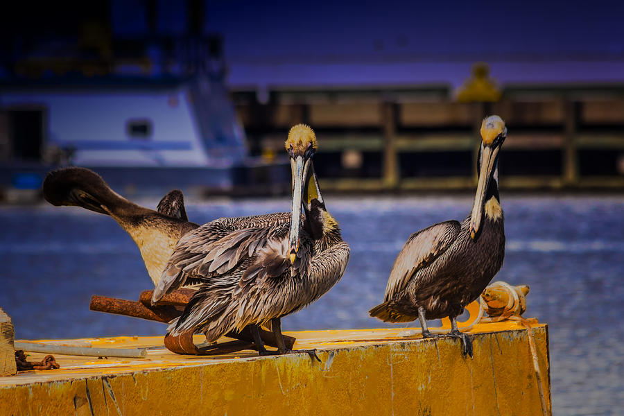 Pelican Photograph - Pelicans Roost by Barry Jones