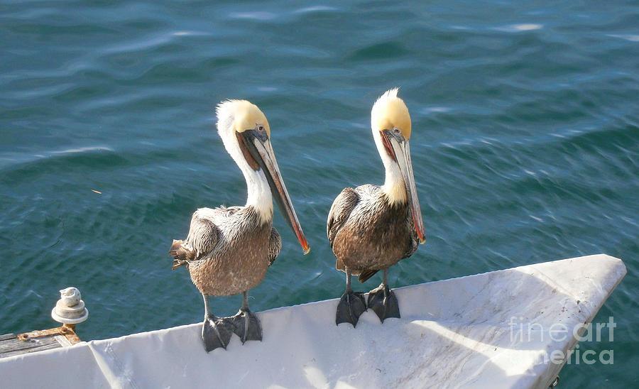 Pelicans Photograph - Pelitwins by Drew Shourd