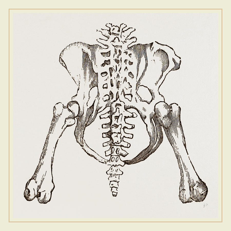 Pelvis Drawing - Pelvis Of Sloth by Litz Collection