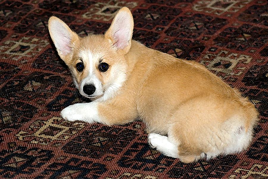 Pembroke Welsh Corgi Puppy  by Olde Time  Mercantile