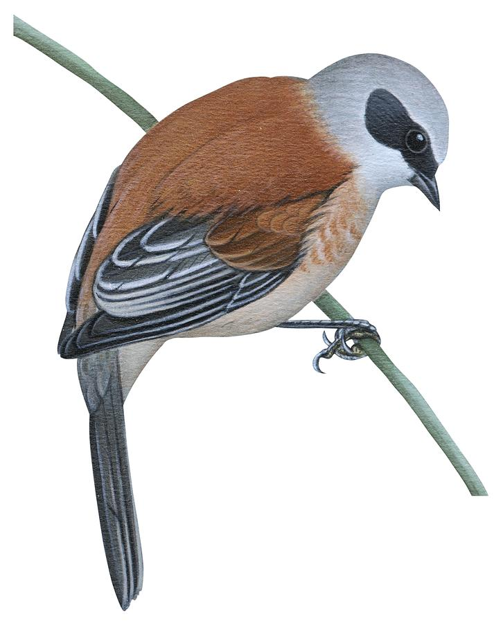 No People; Vertical; Side View; Full Length; One Person; One Animal; Animal Themes; Nature; Wildlife; Beauty In Nature; Simplicity; Uline Tit; Remiz Pendulinus; Twig; Perching Drawing - Penduline Tit  by Anonymous