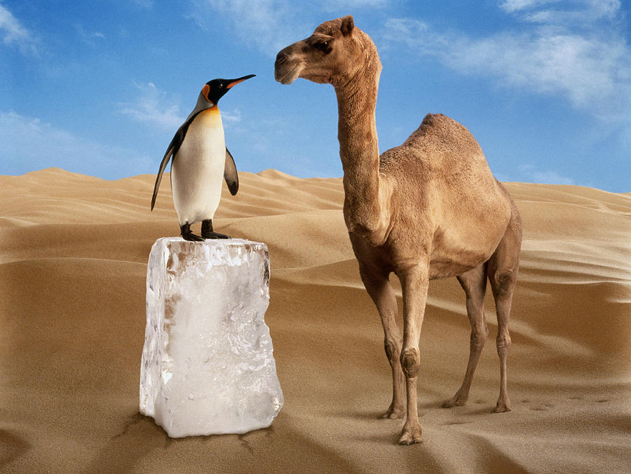 Penguin And Camel In Desert Photograph by Bob Elsdale
