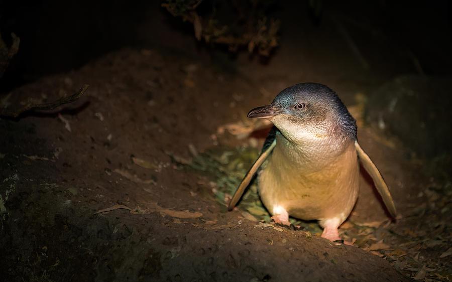 Eudyptula Minor Photograph - Penguins by George Lim