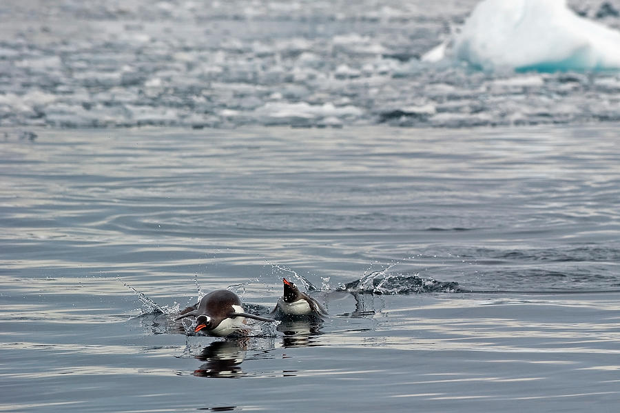 Penguins In The Water Photograph by Jim Julien / Design Pics