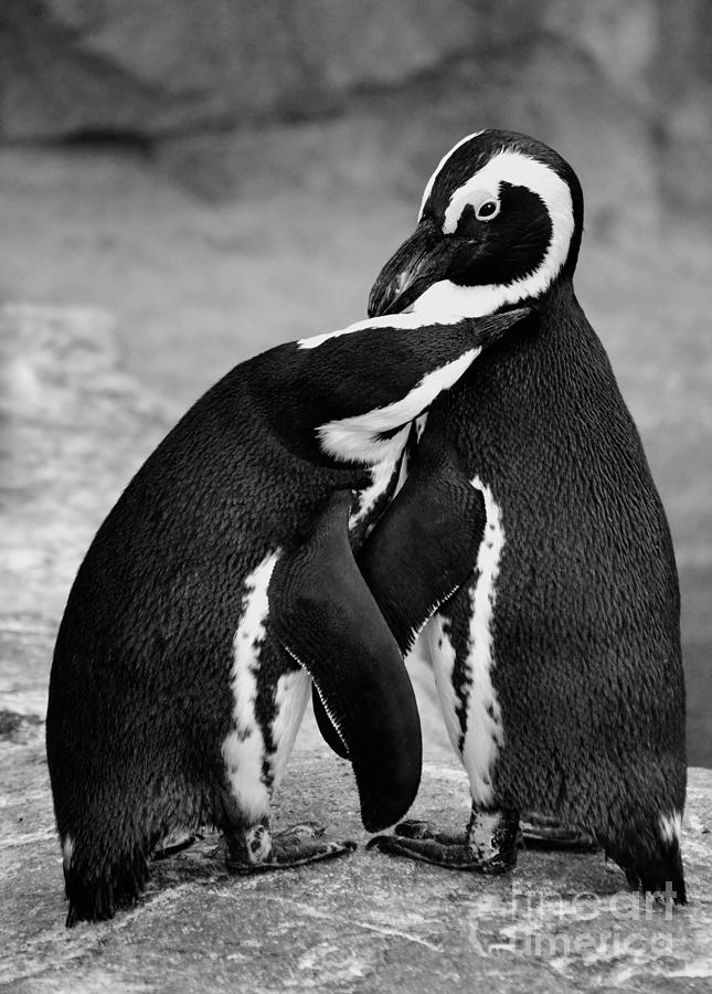 penguin s preening black and white photograph by elle arden walby