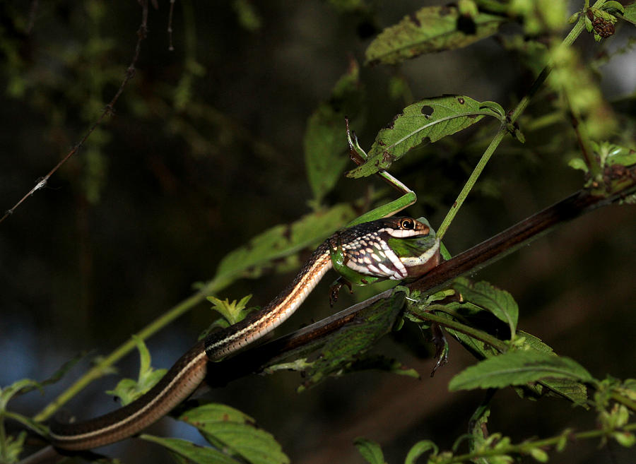 Snake Photograph - Peninsula Ribbon Snake by April Wietrecki Green
