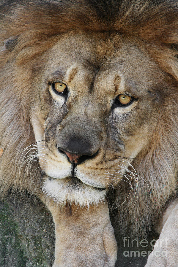 Lion Photograph - Pensive by Judy Whitton