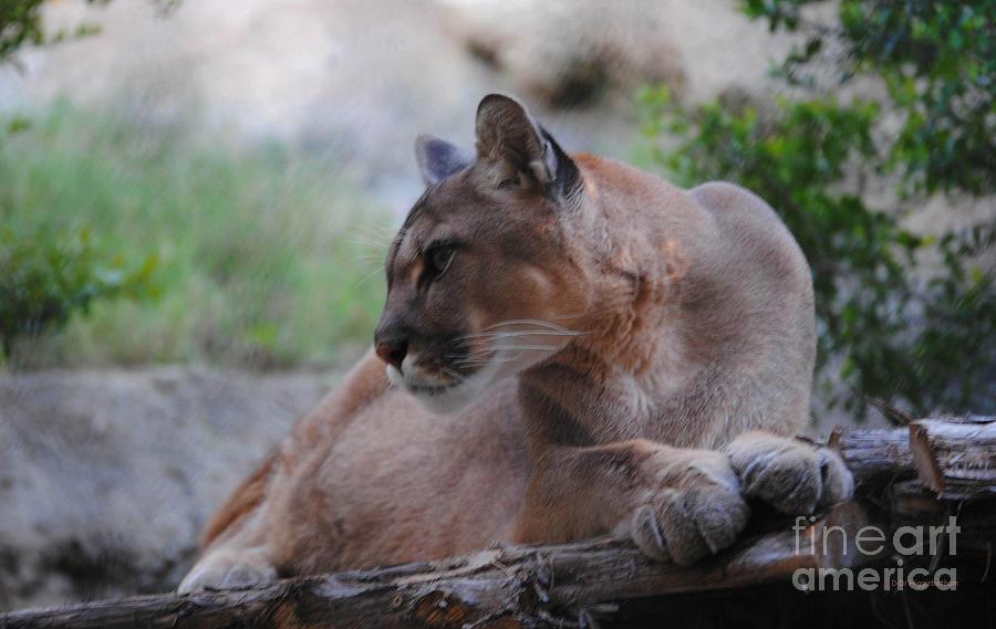 Puma Photograph - Pensive Puma by DiDi Higginbotham