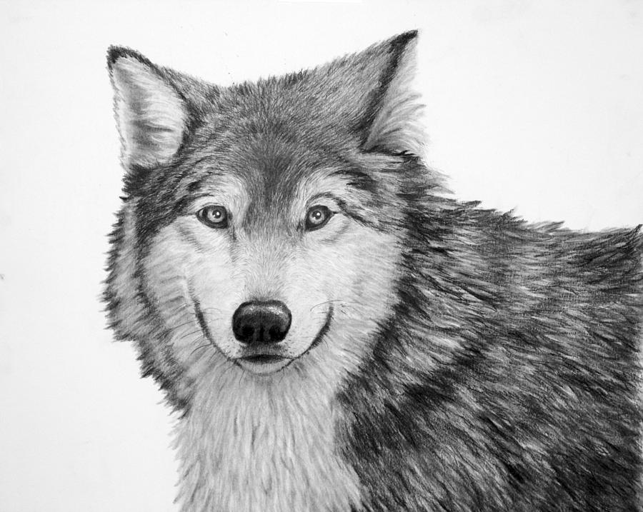 Wolves Drawing - Pensive Wolf by Lorraine Foster