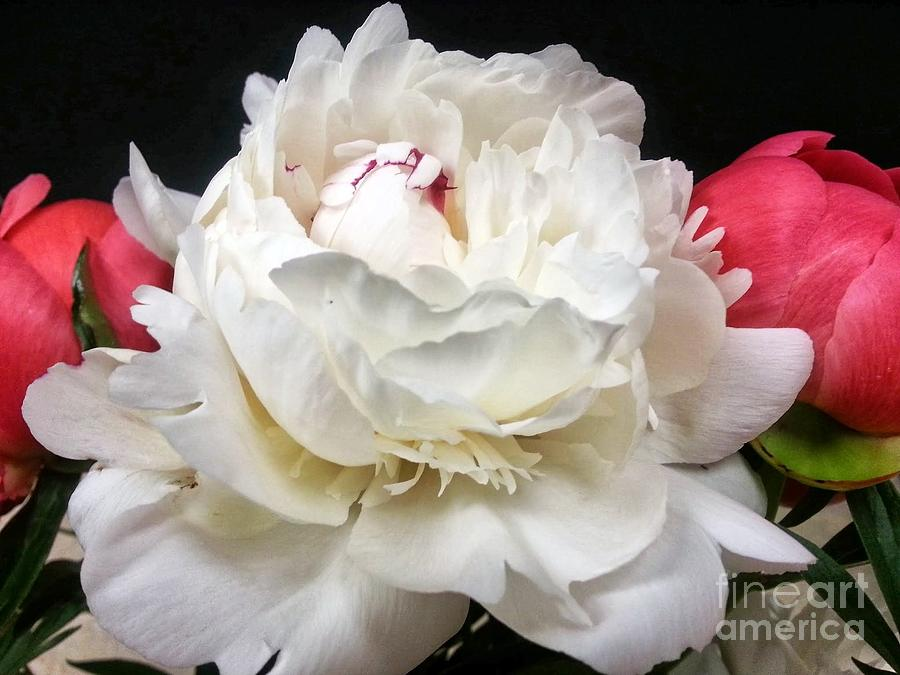 Peony Photograph - Peonies by Heather L Wright