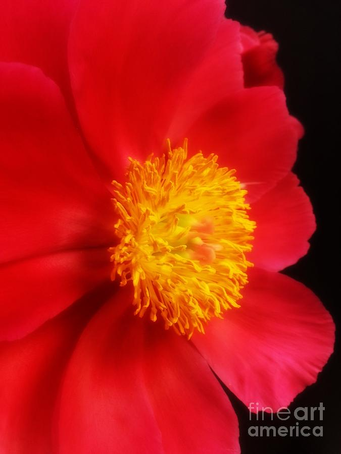 Peony Photograph - Peony 2 by Heather L Wright