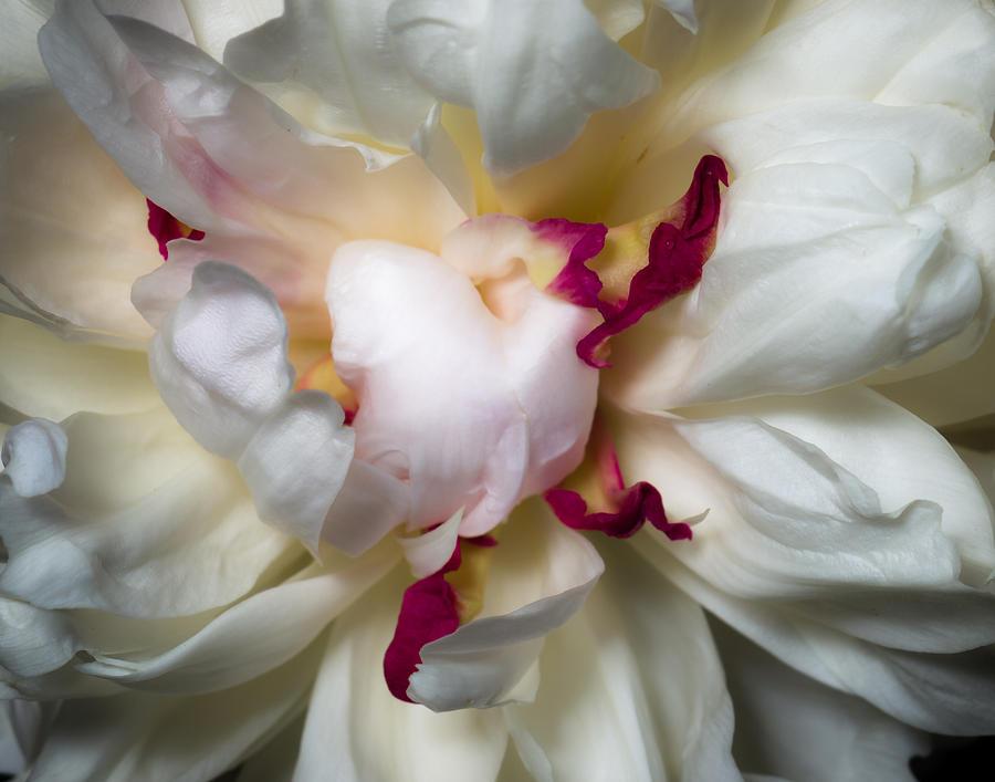 Closeup Photograph - Peony by Carl Engman