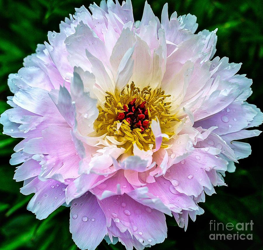 Peony Photograph - Peony Flower by Edward Fielding
