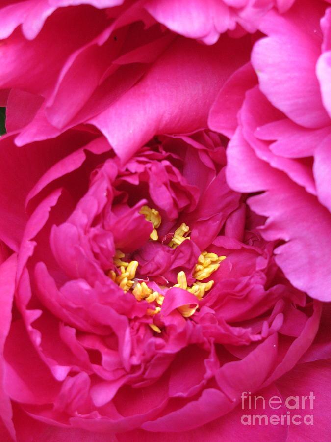 Flower Photograph - Peony by Nancie Johnson