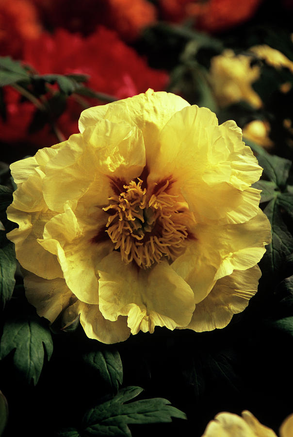 Golden Isle Photograph - Peony (paeonia golden Isle) by Ian Gowland/science Photo Library