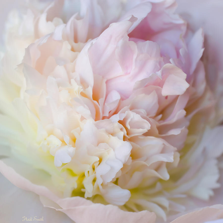 Flower Photograph - Peony Perfection by Heidi Smith