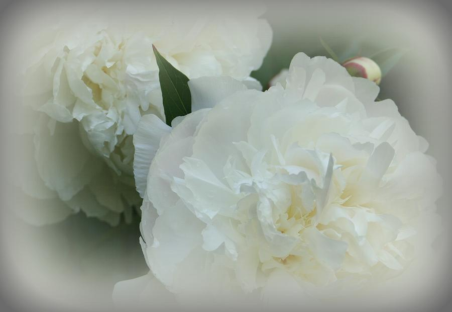 Flowers Photograph - Peony Soft by Barbara S Nickerson