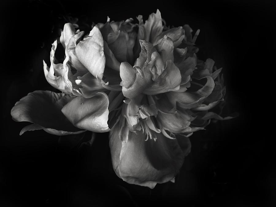 Flowers Photograph - Peony Study by Jessica Jenney