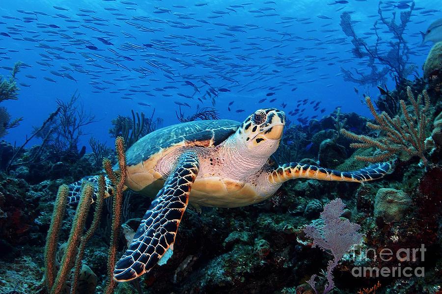 Turtle Photograph - Pepe On Eldorado by Carey Chen