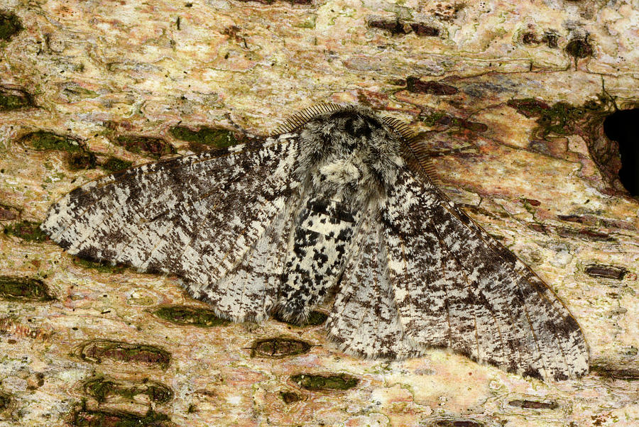 1 Photograph - Peppered Moth by Nigel Downer