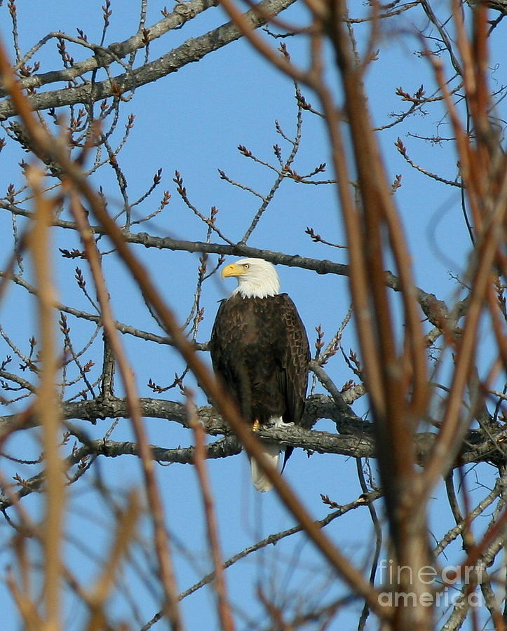 Eagle Photograph - Perched American Bald Eagle  by Neal Eslinger