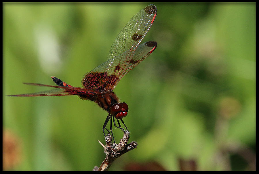 Dragonfly Photograph - Perched by Christine Nunes