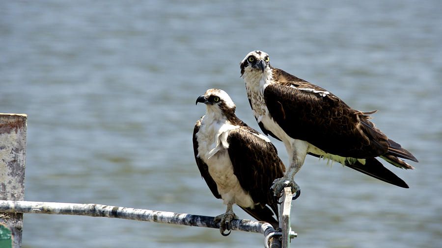 Birds Photograph - Perched On The River by Kathi Isserman